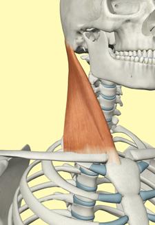 図3 胸鎖乳突筋