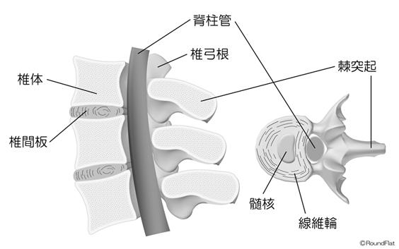 図1 腰椎の構造