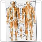 解剖学ジグソー