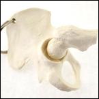 骨格キーホルダー(股関節)