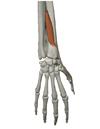 短母指伸筋